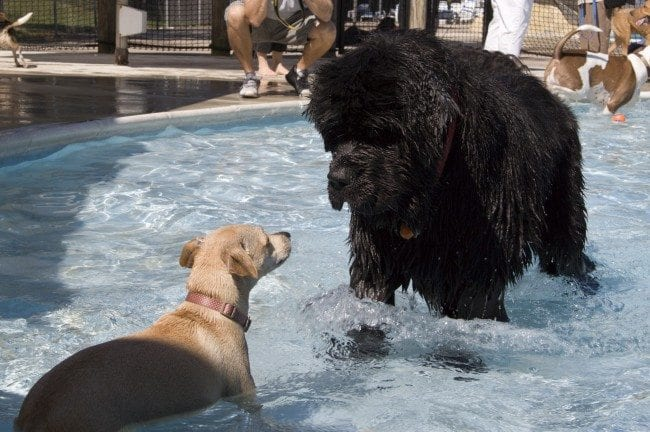 St. Louis Dog Events ~ Community Swimming Pool Parties - Arch City Homes