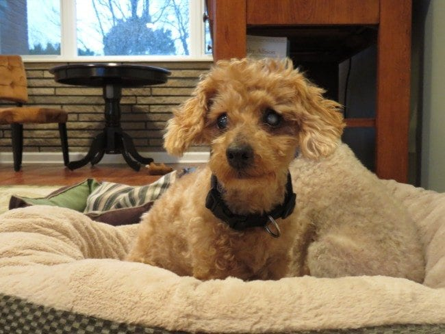 Forever Home Needed: Help Me Find Blind Benny the Poodle a Home