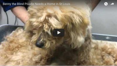 Karen's Foster Dog: Help Find Benny a St. Louis Home