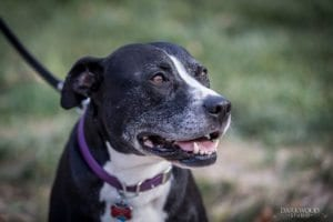 Where Can Pit Bulls Live in St. Louis? | Arch City Homes